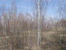 Abedules en primavera del thr Foto de archivo libre de regalías