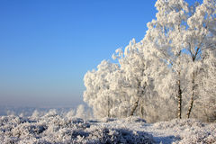 Abedules en un paisaje hivernal asoleado Imagen de archivo
