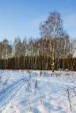 Abedules en un parque nevoso Fotografía de archivo libre de regalías
