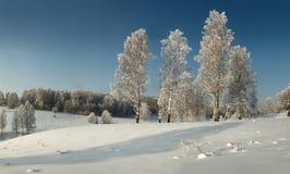 Abedules finos en la superficie nevosa en el fondo del bosque canoso Fotografía de archivo libre de regalías