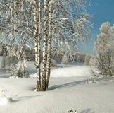 Abedules finos en nieve profunda en el fondo del bosque canoso Imagen de archivo libre de regalías