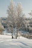 Abedules finos en nieve profunda en el fondo del bosque del invierno Fotos de archivo