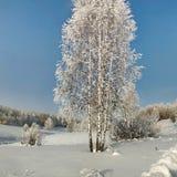 Abedules finos en nieve profunda en el fondo del bosque del invierno Fotos de archivo libres de regalías