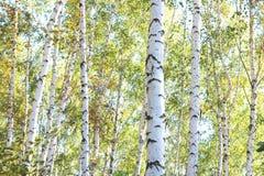 Abedules hermosos en bosque en otoño Fotografía de archivo libre de regalías