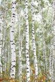 Abedules hermosos en bosque en otoño Foto de archivo