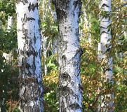 Abedules hermosos en otoño temprano Foto de archivo libre de regalías