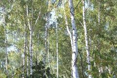 Abedules hermosos en otoño temprano Foto de archivo