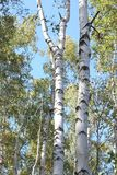 Abedules hermosos en otoño temprano Fotos de archivo libres de regalías