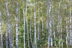 Abedules hermosos en otoño temprano Imágenes de archivo libres de regalías