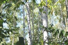 Abedules hermosos en otoño temprano Imagen de archivo libre de regalías