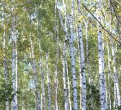 Abedules hermosos en otoño temprano Fotos de archivo