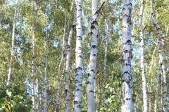 Abedules hermosos en otoño temprano Imagen de archivo