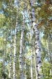 Abedules hermosos en otoño temprano Fotografía de archivo libre de regalías