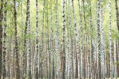 Abedules hermosos en otoño temprano Imagenes de archivo
