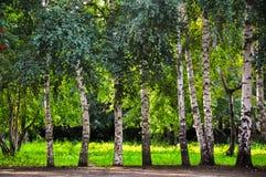 Abedules hermosos que crecen en fila en parque verde del verano Imágenes de archivo libres de regalías