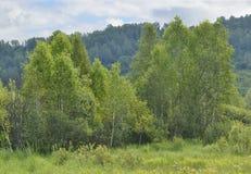 Abedules jovenes contra la perspectiva de una montaña verde Imagen de archivo