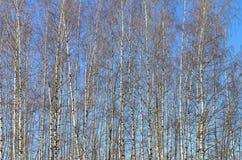 Abedules jovenes delgados contra el cielo azul Fotografía de archivo