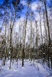 Abedules jovenes en un Forest Park en un día escarchado del invierno soleado contra un cielo azul Rusia Imagen de archivo libre de regalías