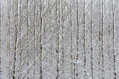 Abedules nevados Fotografía de archivo libre de regalías