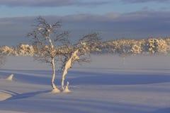 Abedules nevados Fotos de archivo libres de regalías
