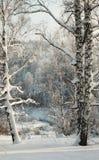 Abedules nevados en la cuesta con el bosque del invierno en fondo Fotos de archivo
