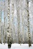 Abedules nevados rectos y cielo azul Fotos de archivo libres de regalías