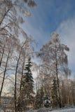 Abedules nevados y árboles spruce Foto de archivo libre de regalías