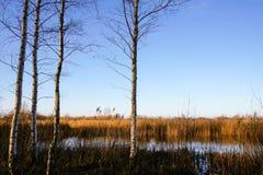 Abedules por el pantano Imagen de archivo libre de regalías