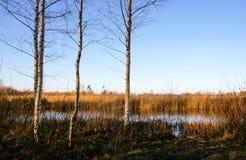 Abedules por el pantano Fotos de archivo libres de regalías