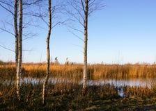 Abedules por el pantano Foto de archivo libre de regalías