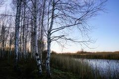 Abedules por el pantano Imágenes de archivo libres de regalías
