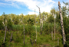 Abedules que se inclinan en un pantano del bosque Fotos de archivo libres de regalías