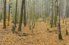 Abedules quebrados en bosque mezclado otoñal en Ucrania central Imagenes de archivo