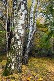 Abedules rusos blancos en el bosque del otoño Fotografía de archivo