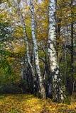 Abedules rusos blancos en el bosque del otoño Foto de archivo