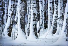 Abedules sitiados por la nieve en el bosque Imagen de archivo libre de regalías