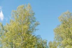 Abedules verdes Madera de abedul Matorral del abedul en el verano Imágenes de archivo libres de regalías