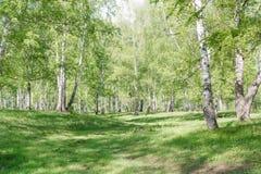 Abedules verdes Madera de abedul Matorral del abedul en el verano Foto de archivo libre de regalías