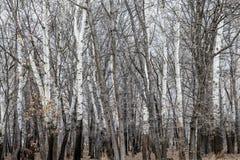 Abedules y árboles en invierno Fotos de archivo libres de regalías
