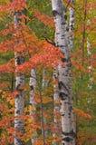 Abedules y arces del otoño Imagen de archivo