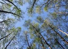 Abedules y cielo azul. Fotos de archivo