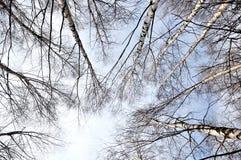 Abedules y cielo azul Imagen de archivo