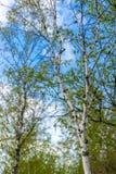 Abedules y la vista del tiro del cielo azul él fotografía de archivo libre de regalías