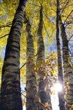 Abedules y luz del sol del bosque del tiempo del otoño Fotos de archivo libres de regalías