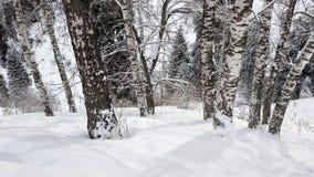Abedules y nieve Imagen de archivo