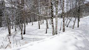 Abedules y nieve Foto de archivo libre de regalías