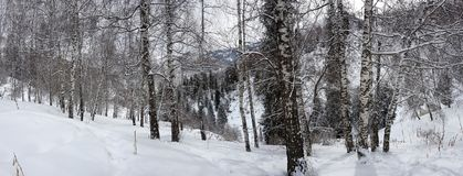 Abedules y nieve Imagenes de archivo