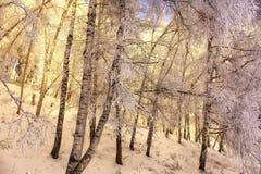 Abedules y nieve Fotografía de archivo libre de regalías