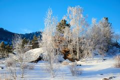 Abedules y pinos que crecen en rocas en invierno Fotografía de archivo