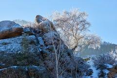 Abedules y pinos que crecen en rocas en invierno Foto de archivo libre de regalías